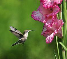 Hummingbird and gladiola