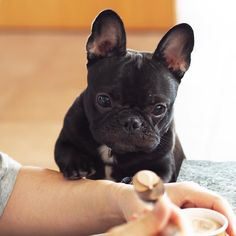 When you're in a mood and bae brings you ice cream to fix it Cute Puppies, Cute Dogs, Dogs And Puppies, Doggies, French Bulldog Puppies, French Bulldogs, Cream French Bulldog, Baby Animals, Cute Animals