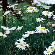 Oxeye Daisy:Add cheer and charm to your yard with oxeye daisy. This easy-growing, fast-spreading plant blooms in late spring and early summer and is perfect for holding down a sunny slope or for cutting and using in a simple vase. Plant Name: Leucanthemum vulgare Growing Conditions: Full sun and well-drained soil Size: To 3 feet tall and 2 feet wide