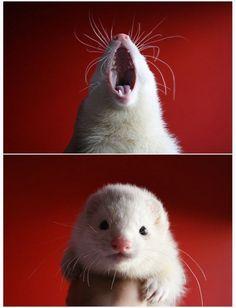 Yawn ferret.