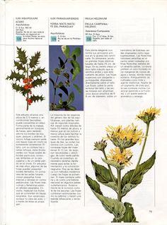 """""""Inula helenium"""", enula campana o helenio, de la familia Asteraceae. Imagen tomada de """"Guía práctica ilustrada de las plantas medicinales"""".  http://absysnet.bbtk.ull.es/cgi-bin/abnetopac/O7104/ID04c4628c?ACC=161  #herbario"""