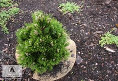 Pinus heldreichii 'Schmidtii' (P. leucodermis 'Schmidtii') - Sosna bośniacka 'Schmidtii' Szczególnie wolno rosnąca sosna bośniacka, o pokroju kulistym. Przyrasta rocznie ok. 3 cm. Igły sztywne, jasnozielone, osadzone gęsto na krótkich pędach. Dobrze rośnie na każdej glebie (mało wymagający), stanowisku słonecznym. Rarytas do ogrodów skalnych, pojemników, kompozycji z innymi karłowymi iglakami