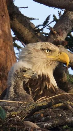 Awesomely beautiful bald eagle and chic ❤️❤️