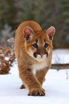 Cougar cub stalking!