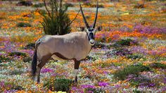 Tours to see the Wild Flowers of South Africa are popular in the spring months which are August to September. This time of year ties in nicely with the best time for a wildlife safari as well. Safari, Nature Landscape, Namibia, Out Of Africa, Mundo Animal, African Animals, Summer Pictures, Machu Picchu, Fauna