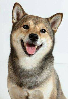 Shiba Inu, a cute foxy dog! Cute Baby Dogs, Silly Dogs, I Love Dogs, Cute Puppies, Dogs And Puppies, Beautiful Dogs, Animals Beautiful, Cute Animals, Pet Dogs