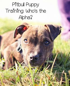 Today, Pitbull Puppy Training Tips discusses who's the alpha. I've talked about this some in Pitbull Puppy Training Tips before, but we'll go into it more.