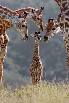 Giraffe family                                             #animals #giraffe