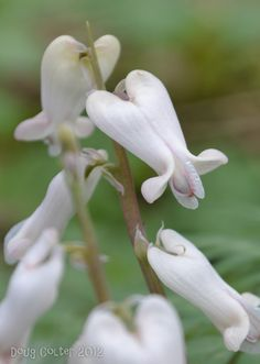 Squirrel Corn (Dicentra canadensis) •Family: Fumitory (Fumariaceae) • Habitat: woods •Height: 6-12 inches •Flower size: 3/4 to 1 inch long • Flower color: white or pale pink • Flowering time: April to May • Photo by Doug Colter • Location: Bruce Trail - The Great Esker Side