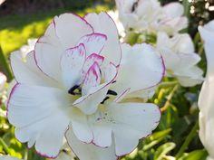 Tulipa Belicia Plants, Tulip, Plant, Planets