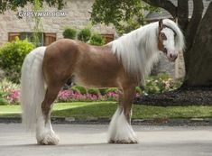 Gypsy Vanner Horses for Sale | Colt | Silver Bay | Chewbacca
