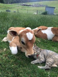 veau et chat se font des calins