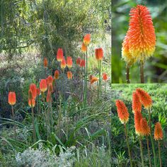 The Red-hot poker (70 species in the Kniphofia genus) is native to Africa.