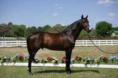 Brazilian Sport Horse