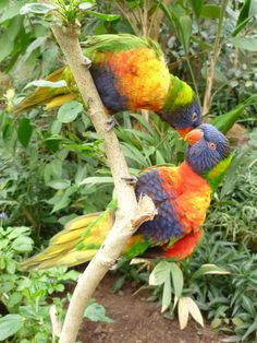 Les loriquets de Swainson, des joyaux dans le jardin équatorial du Naturospace