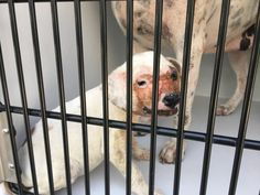 02/08/17-SUPER URGENT - HOUSTON - This DOG - ID#A477275  I am a female, white and brown Pit Bull Terrier.  The shelter staff think I am about 13 weeks old.  I have been at the shelter since Feb 08, 2017.  This information was refreshed 26 minutes ago and may not represent all of the animals at the Harris County Public Health and Environmental Services.