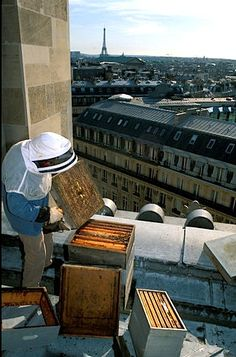 Did you know that the rooftops of many famous Paris buildings (Grand Palais, Vuitton, La Tour,..) are used to keep bees? The photo shows urban bee-keeper Jean Paucton removing frames from the hive atop the Opera Garnier. Photo Franco Zecchin.