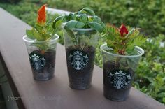 Upcycled starbucks frappuccino cup planters.