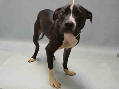 06/29/2016 SUPER URGENT Brooklyn Center NYC ADOPT / FOSTER / RESCUE PUPPY DOG CHESTNUT – to be destroyed - A1078257 MALE, BLACK / WHITE, AM PIT BULL TER MIX, only 8 months old, found as a STRAY but friendly, loves attention and perfectly healthy but underfed so likely to be a lost pet. Intake condition EXAM REQUIRED URGENTLY to determine health and temperament before adoption can take place. Intake Date 06/20/2016, From NY 11693, past his Due Out Date 06/23/2016.