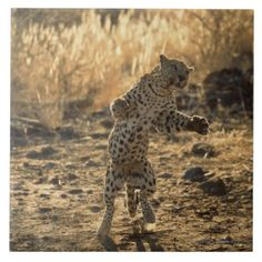 African leopard on hind legs , Namibia , Africa Ceramic Tiles I Love Cats, Big Cats, Animals Beautiful, Cute Animals, Wild Animals, Big House Cats, Jaguar Panther, Big Cat Family, African Leopard