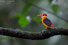 Devine Beauty ...... - Oriental Dwarf Kingfisher.... (Female Bird) Tamhini, Pune maha, June 2013  In my opinion ODKF is Devine bird. The colour of the bird attract you soo much which you can't explain and ask you to follow every year and year after year the search continues. Every year I decide that I will not follow this year but the instinct continuously kick you from within and I follow the bird ..... that's why I call it Devine bird.....  Canon 1Dx, canon 500mm+1.4TC, f-5.6 ISO-3200…