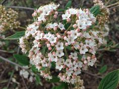 "Viburnum x ""Pragense' 