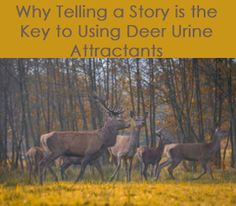 The key to creating the perfect attraction for deer is to tell a story. Find out what deer urine attractants you should use, when, and tips from the pros. Hunting Season, Deer, Animals, Animales, Animaux, Animal, Animais, Reindeer