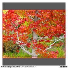 Liquid amber tree - Google Search