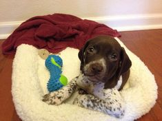 My German shorthaired pointer pup, 6 weeks old - Forrest Gsp Puppies, Pointer Puppies, Pointer Dog, Pet Breeds, Best Dog Breeds, I Love Dogs, Cute Dogs, Paws And Claws, German Shepherd Puppies