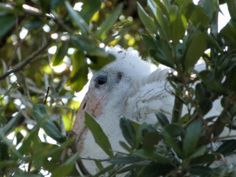 Wood Stork (Mycteria americana) Jacksonville Zoo by Lee