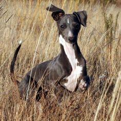 Blue & White Italian Greyhound
