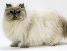 PERSIAN CATS - Photos | Facebook