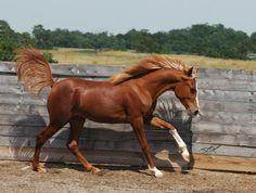 AB Razeel (HHA Manabi x LD Rubic) 2006 chestnut SE stallion bred by AraBliss Arabians, Kentucky