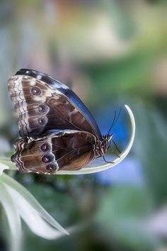 ~~Blue Morpho by Jacky Parker Floral Art~~