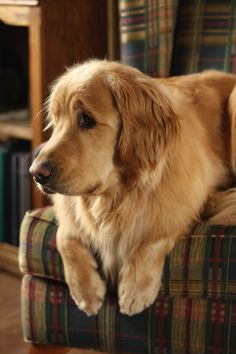 Golden retriever- what a face:)