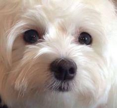 Bentley Maltese Puppy Age 2
