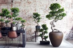 The twisted roots of the Ficus Ginseng makes for a very creative houseplant.