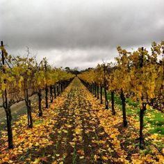 MERLOT VINES IN OUR WILD OAK ESTATE VINEYARD IN SONOMA VALLEY on this rainy afternoon. Photo by Rayna Baker in our Accounting Dept.