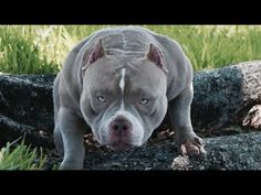 American Bully HD Video Production| Bully King Magazine