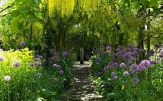 Barnley House Gardens; a parthway lined with Allium Purple Sensation beneath Laburnum archway