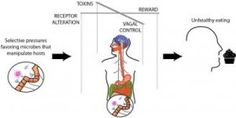 Do gut bacteria rule our minds?  In an ecosystem within us, microbes evolved to sway food choices