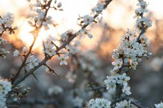 Sloe Blossoms by enaruna