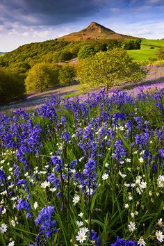 The 151 best spring flowers images on pinterest beautiful places bluebells stitchworts roseberry topping by john robinson yorkshire englandnorth yorkshirespring flowersflowers mightylinksfo