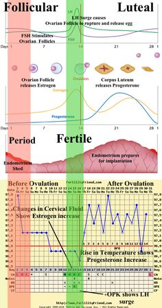 Be able to identify and understand the major events and phases of the menstrual cycle. Build a foundation of knowledge about the menstrual cycle so that fertility charting makes sense. Fertility Chart, Fertility Cycle, Fertility Doctor, Ovulatory Cycle, Ovarian Follicle, Fertility Medications, Pregnancy Timeline, Pregnancy Videos, Pregnancy