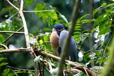 Boat billed Heron @Costa Rica @Andreas Grieger Photography