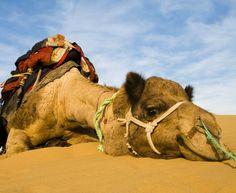 Tunesien, Kamel