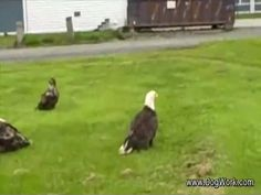 Bald Eagles Swarming. Imagine waking up one morning to find a hundred bald eagles, America's national bird, hanging out on your front lawn. This is amazing.  Click for the vid