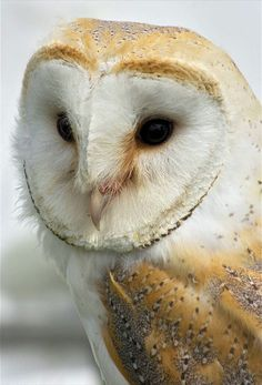 Buzz our Barn Owl