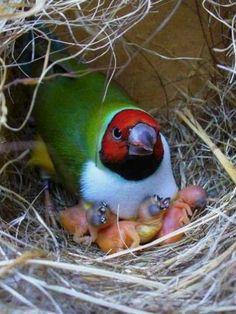 Lady Goudian Finch w/babies: from 'The World of Birds, Gouldians' with Ranga Ranga Ranga, Eder Ramos, Ahmet Koçoglu, Monica Lucero & Kaka Albe Ra-Herakhty
