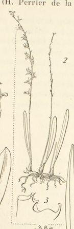Bulbophyllum lineariligulatum
